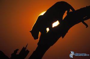 Leopardo al Sol